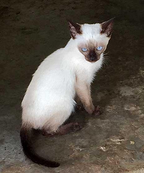 Thai Siamese Cats