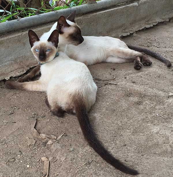 Siamese cats for sale Thailand