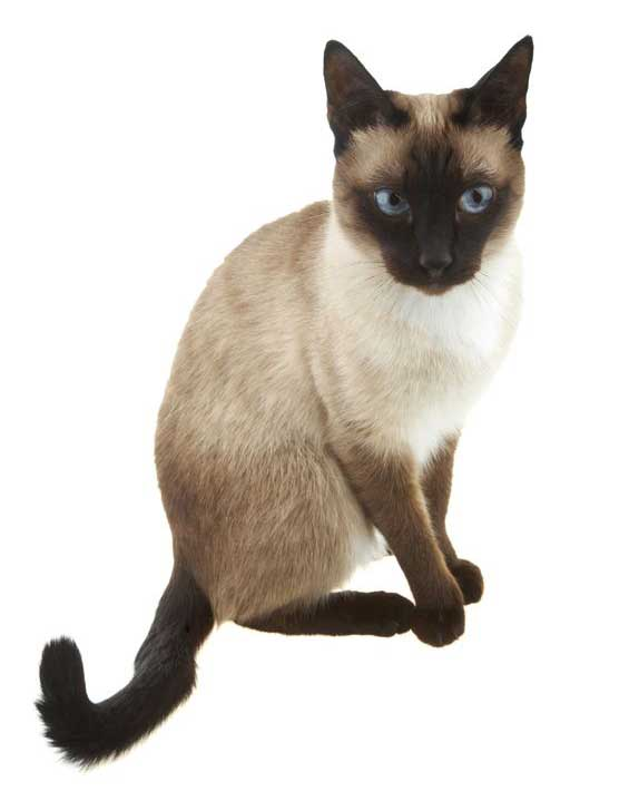 What do Siamese Cats look like
